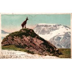 Chamois dans les hautes alpes
